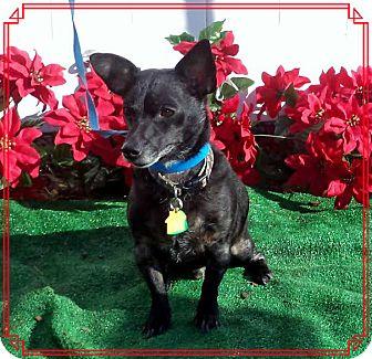 Chihuahua Mix Dog for adoption in Marietta, Georgia - ALFIE- (R) see BLACKIE