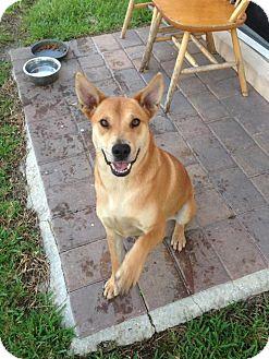 Carolina Dog/Labrador Retriever Mix Dog for adoption in Homestead, Florida - Luna