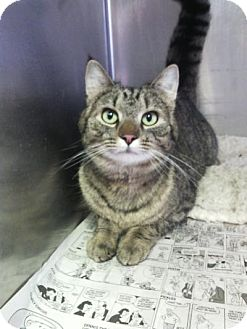 Domestic Shorthair Cat for adoption in Sauk Rapids, Minnesota - Zira