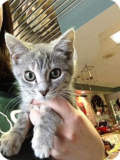 Domestic Shorthair Kitten for adoption in Columbus, Ohio - Audi
