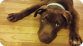 Labrador Retriever Mix Dog for adoption in Jacksonville, North Carolina - Duke