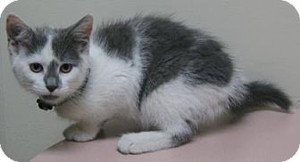 Domestic Shorthair Kitten for adoption in Gary, Indiana - Nikki/Basia