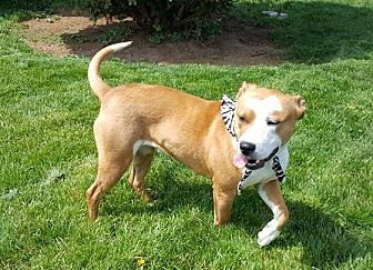 Terrier (Unknown Type, Medium) Mix Dog for adoption in South Bend, Indiana - Abril