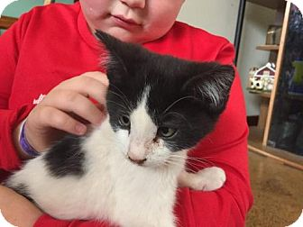 Domestic Shorthair Cat for adoption in Nesquehoning, Pennsylvania - Charlie