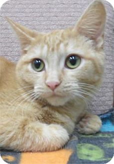 Domestic Shorthair Kitten for adoption in Waupaca, Wisconsin - Emmi