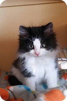 Domestic Longhair Kitten for adoption in Rosamond, California - Willow