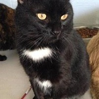 Domestic Shorthair/Domestic Shorthair Mix Cat for adoption in Anderson, Indiana - Lucky
