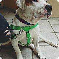 Adopt A Pet :: Bruno Mars - Villa Park, IL