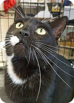 Domestic Shorthair Cat for adoption in Bensalem, Pennsylvania - Hook
