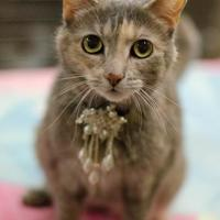 Domestic Shorthair/Domestic Shorthair Mix Cat for adoption in Philadelphia, Pennsylvania - Bona