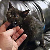 Domestic Shorthair Kitten for adoption in Mississauga, Ontario, Ontario - Nehru