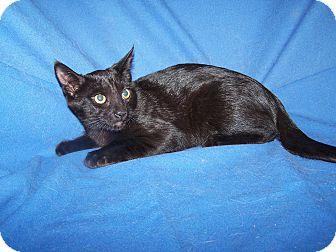 Domestic Shorthair Kitten for adoption in Colorado Springs, Colorado - K-Jenny1-Jenner