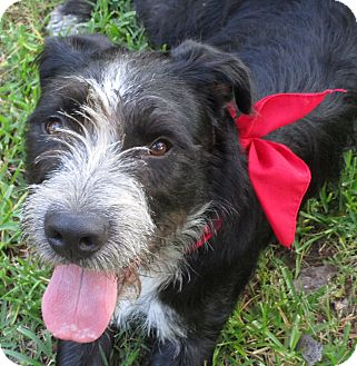 Bearded Collie/Giant Schnauzer Mix Puppy for adoption in Houston, Texas - CONNOR