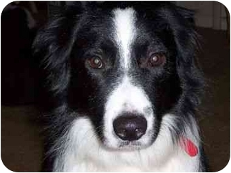 Border Collie Dog for adoption in Tracy, California - Buddy