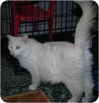 Domestic Mediumhair Cat for adoption in Blackstone, Virginia - Opal