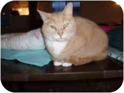 Domestic Shorthair Cat for adoption in Hamburg, New York - Bentley
