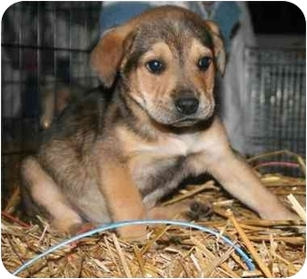 Golden Retriever/Shepherd (Unknown Type) Mix Puppy for adoption in Windham, New Hampshire - Brickle