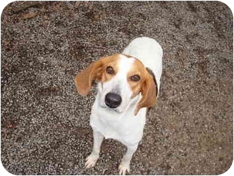 Treeing Walker Coonhound Dog for adoption in Baton Rouge, Louisiana - Fern