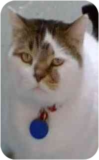 Domestic Shorthair Cat for adoption in Salt Lake City, Utah - Snickers