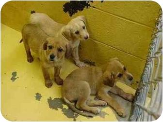Labrador Retriever Mix Puppy for adoption in Cumming, Georgia - Tess
