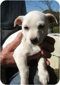 Chihuahua Mix Puppy for adoption in Staunton, Virginia - Sammy