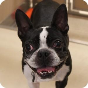 Boston Terrier Dog for adoption in Naperville, Illinois - Elvis