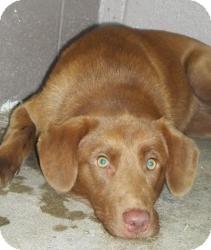 Labrador Retriever Mix Dog for adoption in Gaffney, South Carolina - Fudgecicle