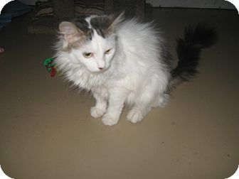 Domestic Longhair Cat for adoption in Trevose, Pennsylvania - Summer