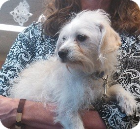 Poodle (Miniature)/Terrier (Unknown Type, Small) Mix Dog for adoption in Seattle, Washington - Claire