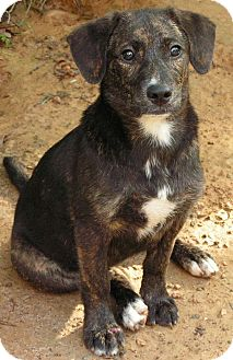 Mountain Cur Mix Puppy for adoption in Normandy, Tennessee - Dixie