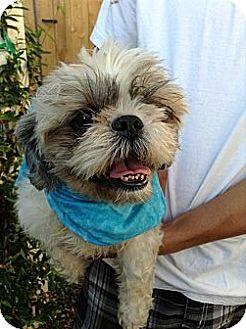 Shih Tzu Dog for adoption in Santee, California - Lenny
