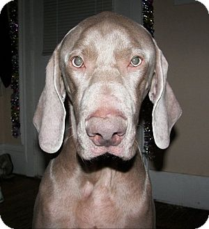 Weimaraner Dog for adoption in Grand Haven, Michigan - Stuart