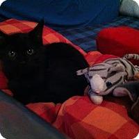 Adopt A Pet :: Vladimir Fluffington - Chicago, IL