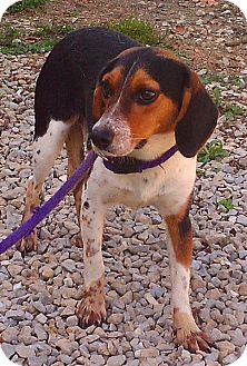 Beagle Mix Dog for adoption in Metamora, Indiana - Claire
