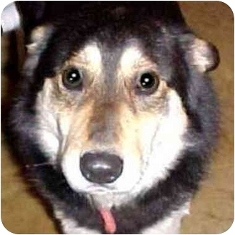 Siberian Husky Mix Dog for adoption in Various Locations, Indiana - Duke