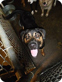Shepherd (Unknown Type) Mix Dog for adoption in Henderson, North Carolina - Bear