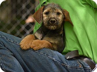 Spaniel (Unknown Type) Mix Puppy for adoption in Groton, Massachusetts - safi