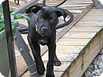 Labrador Retriever/Boxer Mix Puppy for adoption in Dayton, Ohio - Enya