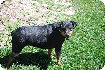 Miniature Pinscher Mix Dog for adoption in Twin Falls, Idaho - Cisco
