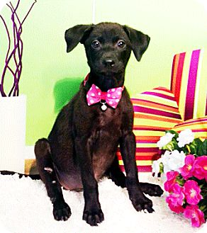 Labrador Retriever Mix Puppy for adoption in Castro Valley, California - Zia