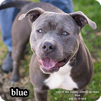 Pit Bull Terrier Mix Dog for adoption in The Colony, Texas - Blue
