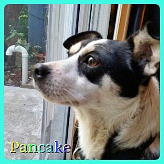 Rat Terrier Mix Dog for adoption in Hollywood, Florida - Pancake