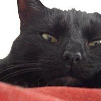 Domestic Mediumhair Cat for adoption in Columbus, Ohio - BellaNoir