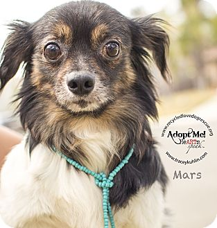 Pomeranian/Chihuahua Mix Dog for adoption in Inland Empire, California - MARS