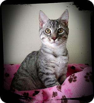 Domestic Shorthair Kitten for adoption in Richmond, Virginia - Puddleduck