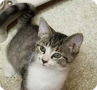 Domestic Shorthair Kitten for adoption in Elyria, Ohio - Selene