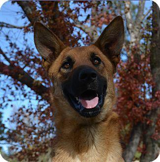 German Shepherd Dog/Greyhound Mix Dog for adoption in Mountain Center, California - Pacer