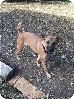 Labrador Retriever/Black Mouth Cur Mix Puppy for adoption in Brattleboro, Vermont - Florence