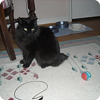 Adopt A Pet :: Cookie- Bobtail-Adoption pendi - Arlington, VA