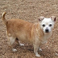 Adopt A Pet :: Cinnamon - Godfrey, IL
